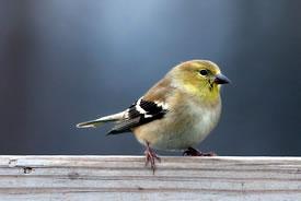 American goldfinch (Photo by Bill Hubick)