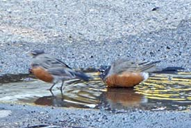 Two American robins refusing to share a puddle (Photo by Janis Turner)