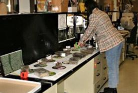 Museum designer Anastasiia Mavrina tests the specimen layout for the case. (Photo courtesy of Manitoba Museum)