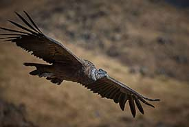 Andean condor (Photo by Pedro Szekely, cc-by-sa-2.0)