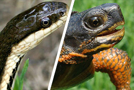 Week 3: queen snake versus wood turtle