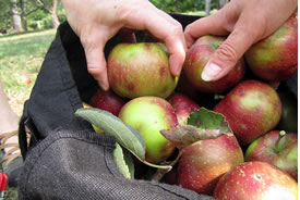 Apples (Photo by Not Far From the Tree)