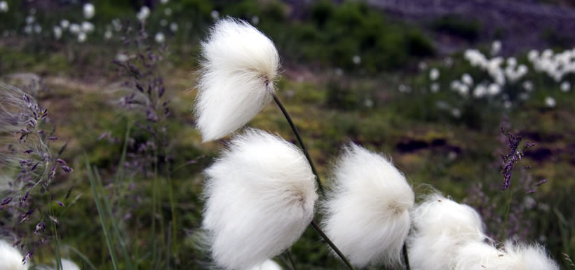 Arctic cottongrass (Photo by Teva Harrison)