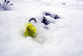 Arctic poppy in the snow (Photo by Teva Harrison)