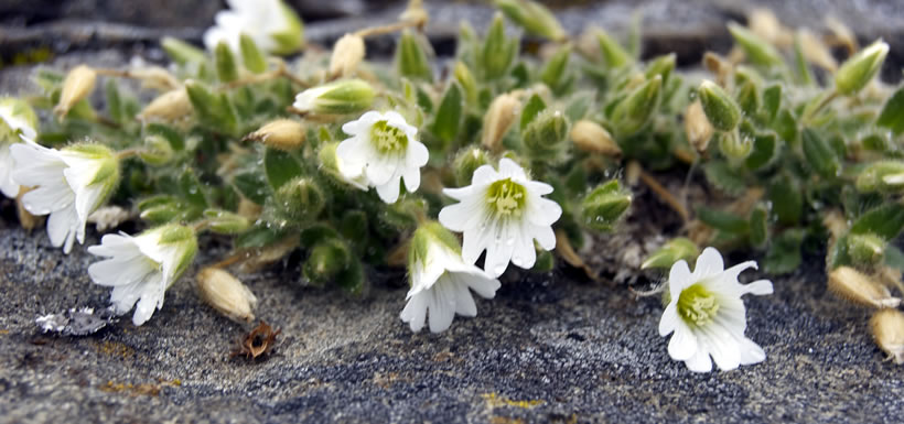 Mouse-ear chickweed (Photo by Teva Harrison)