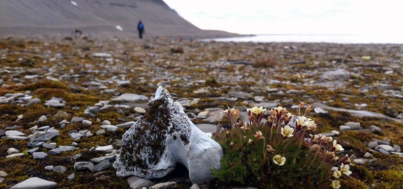 Tufted saxifrage (Photo by Teva Harrison)