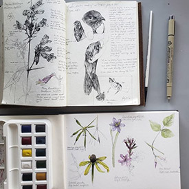 Pen doodles of foxglove beardtongue and purple martin bird banding with the Pelee Island Bird Observatory. Watercolour paintings of sweet cicely, gray-headed coneflower, stout blue-eyed grass, winged loosestrife and hog peanut. (Photo by Hashveenah Manoharan/NCC intern)