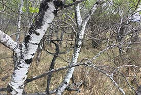 Trembling aspen at Asquith property, SK (Photo by NCC)