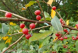 Autumn olive berries (Photo by squidface, CC BY-NC 4.0)
