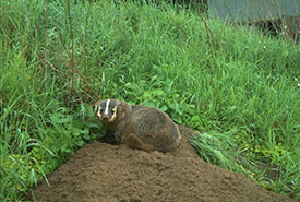 A badger at its burrow. (Photo by J. Sayers, Ontario Badger Project)