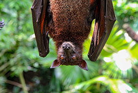 A bat hanging upside down (Photo by Unsplash)