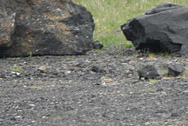 Can you spot the killdeer? (Photo by Sarah Wallace/Dispatches from the Field)