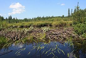 Beaver dam (Photo by Franklin Vera Pacheco)