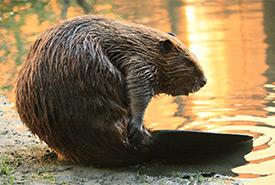 Beaver (Photo by Cheryl Reynolds)