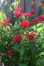 Bee balm (Photo by Sofia Becerra/NCC staff)