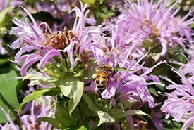 A bee on wild bergamot plant (Photo by Gayle Roodman/NCC)