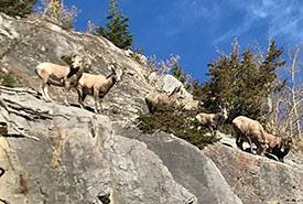 Bighorn sheep (Photo by Gayle Roodman/NCC staff)