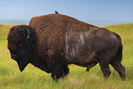 Bison at OMB, SK (Photo by Jason Bantle)