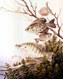 Black and white crappies (Illustration by Robert W. Hines/USFWS, Wikimedia Commons)