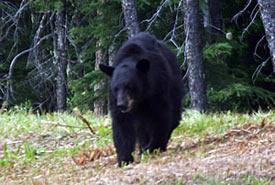 Black bear along Alaska Highway (Photo by ehCanadaTravel.com)