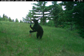 Black bear captured by camera trap (Photo by NCC)