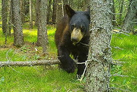 Black bear (Photo by NCC)