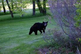 Black bear (Photo by Diana Bizecki Robson)