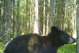 A black bear caught on the trail cam (Photo by NCC)