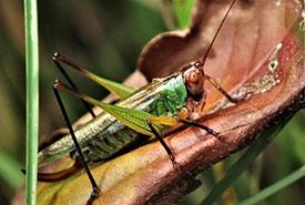 Black-legged meadow katydid (Photo by Bill Lucas, CC BY-NC 4.0)