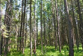 Black spruce bog on Boggy River Mixedwoods property (Photo by NCC)