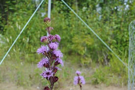 The northern blazing star is being used to test assisted migration as a climate change conservation tool. (Photo by ABMI)