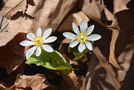 Bloodroot blooming in spring through last year's dead leaves (Photo by Lorraine Johnson)
