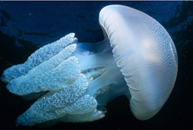 Blue blubber jellyfish (Photo by Matty Testoni/CC BY-NC)