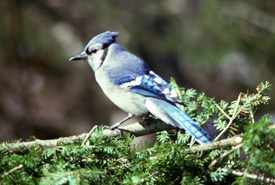 Blue jay <i>(Cyanocitta cristata)</i> (Photo by NCC)