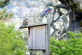 In 2014, this breeding pair of western bluebirds returned to NCC's Cowichan Garry Oak Preserve to nest for a second year in a row. (Photo by Jemma Green, GOERT)