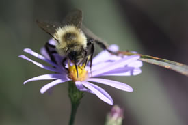 Bombus (Photo by Sheila R. Colla)
