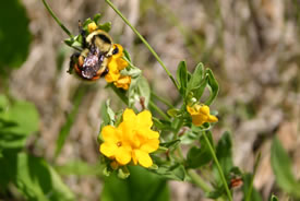 Bumblebee on hoary puccoon (Photo © Manitoba Museum)