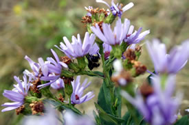 Bee on smooth aster (Photo by Diana Robson)