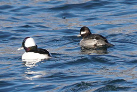 Buffleheads (Photo by Jason Cooper, iNaturalist, CC BY-NC 4.0)