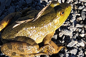 American bullfrog (Photo by Todd Norris, CC BY-NC 4.0)