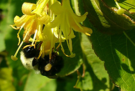 Bumble bee (Photo by Amanda Liczner)