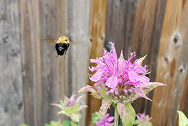 Bumble bee flying toward a wild bergamot flower. (Photo by Wendy Ho/NCC staff)