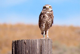 A burrowing owl keeps an eye on volunteers on the Sage and Sparrow Conservation Area in the South Okanagan, BC (Photo by Dianne Bersea)