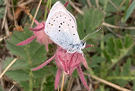 Just a few minutes into our walk, strangers were gathered around a butterfly resting on a three-flowered avens. (Photo by NCC)