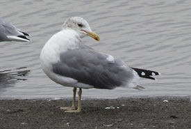 California gull (Photo by Laurie Koepke, CC BY-NC 4.0)