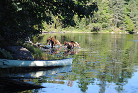 Canoeing into remote areas can put you up close and personal with wildlife. This pair of moose started feeding beside our canoe while we were on shore in Algonquin Provincial Park (Photo by Jennifer McCarter/NCC staff).