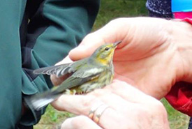 A cape may warbler - uncommon for Nova Scotia. (Photo by NCC)