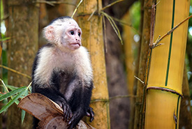Capuchin monkey (Photo by Steve Corey, CC-BY-NC-ND)