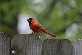 Cardinal on the fence (Photo by Nathan Anderson from Unsplash)