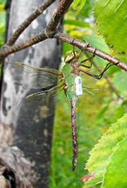 A common green darner with spread wings, clinging vertically to a branch. (Photo by Grace Pitman)